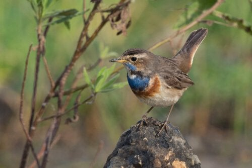 A bluethroat nightingale perched on a tree.