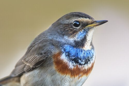 The bluethroat nightingale showing off its plumage.