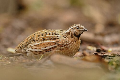 There are differences between partridge and quail.