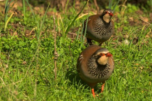 Is Size the Only Difference between Partridge and Quail?