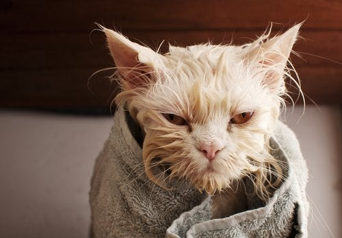 A wet cat wrapped in a towel.
