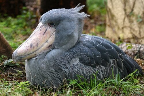 Chilling is part of the shoebill behavior.