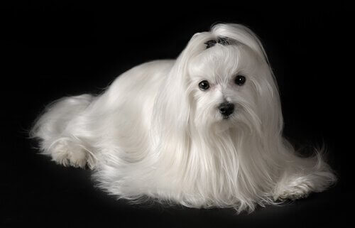 How to Care for a Bichon Maltese