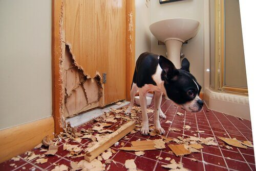 A dog causing destruction in the home.