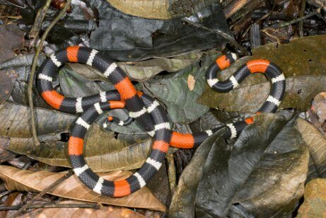 A coral snake in leaves.