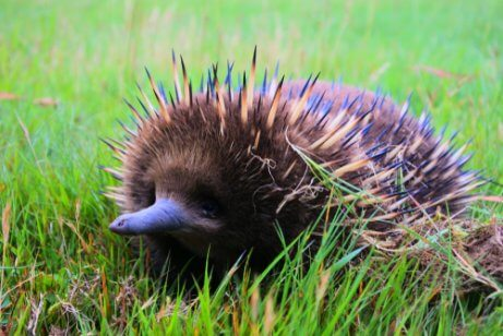 A curious echidna with its spines out.