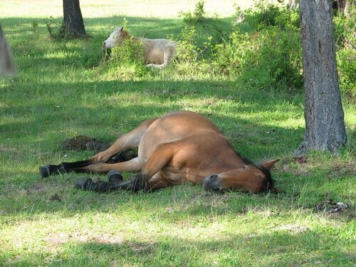 A horse lying down.