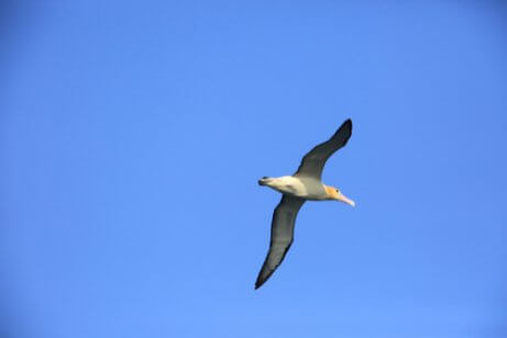 A short-tailed albatross flying.