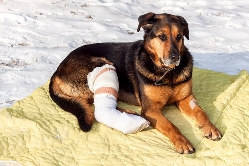 A dog with bandaged leg.