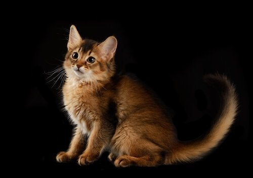 A Somali cat posing for artistic picture.