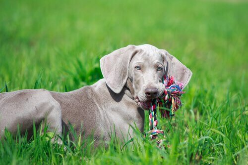 A dog with a braided toy.