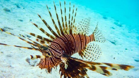 A lionfish in the water.