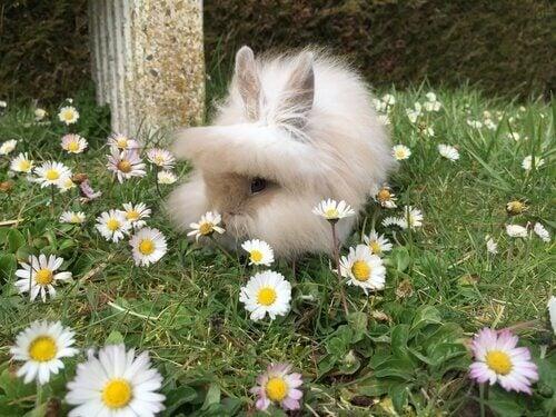 A Lionhead rabbit sitting in daisies.