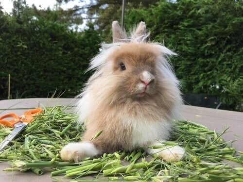 A Lionhead rabbit with greens to eat.
