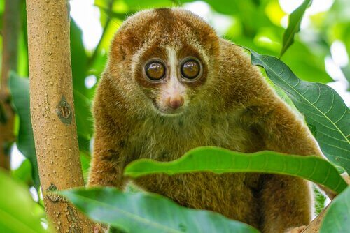 A slow loris hanging out.