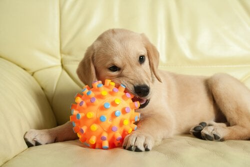 A puppy chewing a toy.
