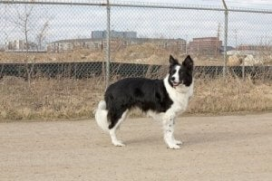 Lost dog can be found with a microchip for dogs.