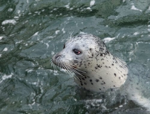 A harbor seal swimming.