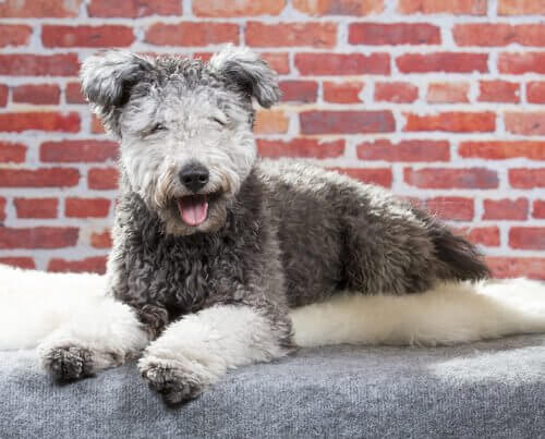 Meet the Pumi, The New Dog Breed
