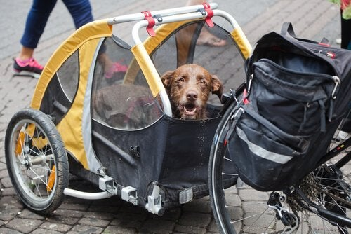 A dog sits in a bicycle trailer.