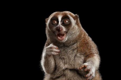 Animal videos of the slow loris went viral.