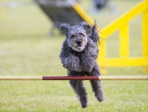The Pumi running and jumping.