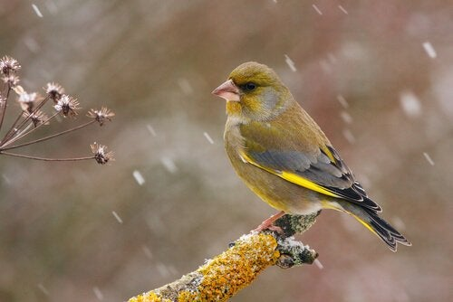 The European Greenfinch: Characteristics, Behavior and Habitat