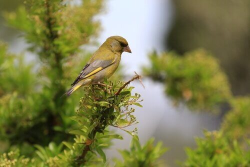 A European greenfinch in a tree.