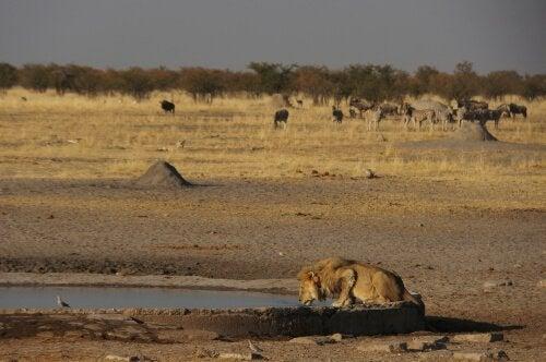 A desert lion stalking water prey.