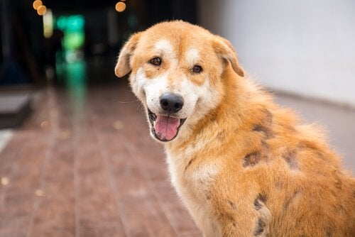 A dog afflicted by a skin condition.