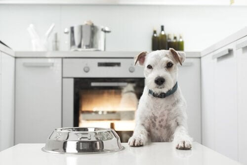 A dog looking at an empty food bowl in the kitchen, a place full of dangerous objects for your dog.