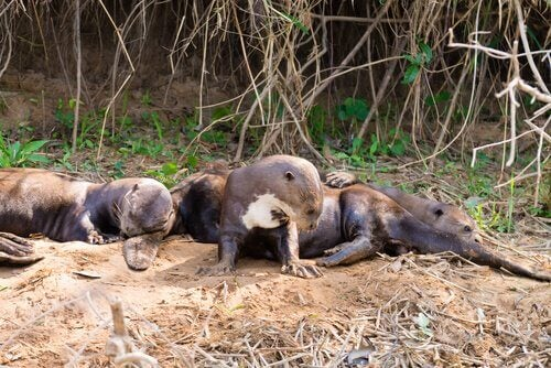 A group of otters relaxing.