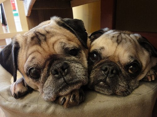 A pair of pugs.