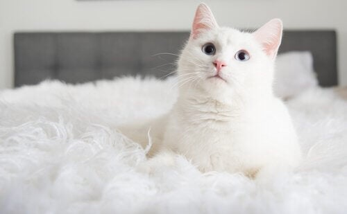 A white cat sitting on a bed.