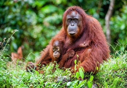 A mother Bornean orangutan.