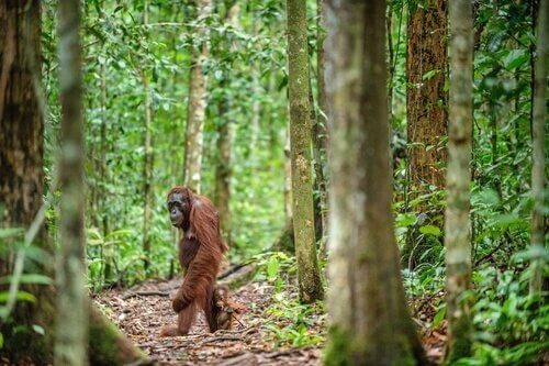 A Bornean orangutan walking in the woods.