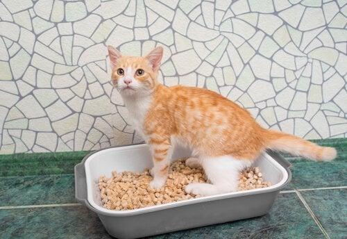 A cat standing inside a litter box.