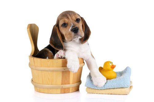 A dog in a wooden water bucket ready for a bath.