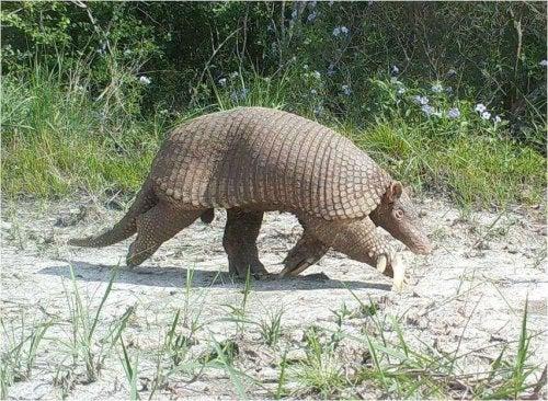 A giant armadillo walking.