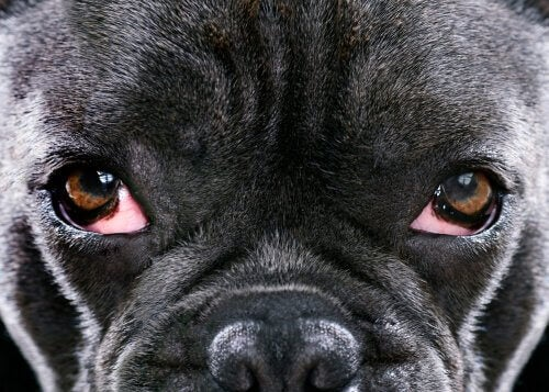 Glaucoma in dogs in close-up.
