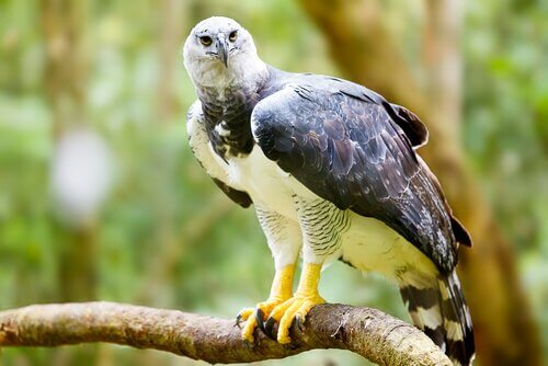 Harpy eagle grabbing a branch with its large claws.