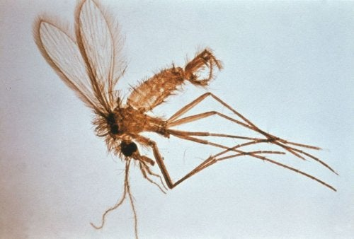 A close-up of a mosquito.