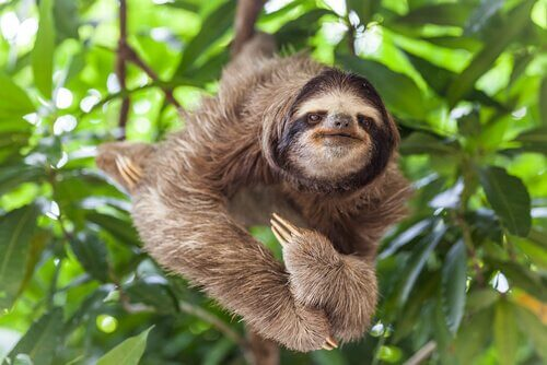 A sloth posing for the camera.