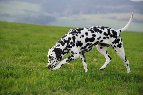 A Dalmatian dog sniffing.