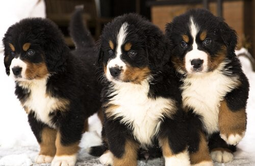 Three Bernese Mountain Dog puppies.