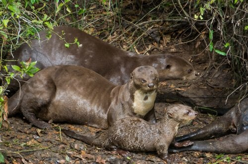 A family of giant otters.