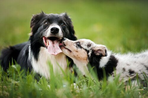 Two dogs being affectionate on the grass.