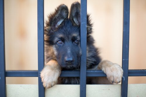 A young dog standing up and looking into the camera through bars.
