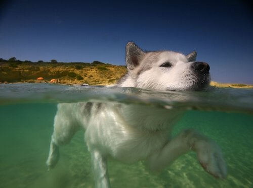 A dog swimming in the sea.