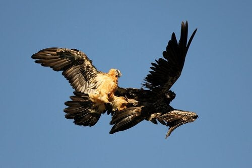 Two vultures flying.